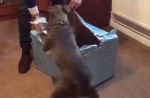 Τρισευτυχισμένο Bull Terrier κατασπαράζει το δώρο του