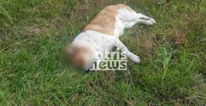 Σοκ στην Αμαλιάδα: Νεκρά πέντε σκυλιά από φόλες – Προσοχή, σκληρές εικόνες!