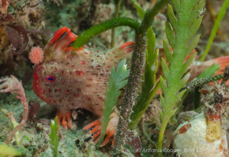 Νέος πληθυσμός από τα σπανιότερα ψάρια του κόσμου εντοπίστηκε στις ακτές της Τασμανίας