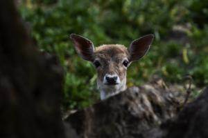 Ρόδος: Βρέθηκε νεκρό νεαρό ελάφι – Δηλητηρίαση καταγγέλλουν οι κάτοικοι