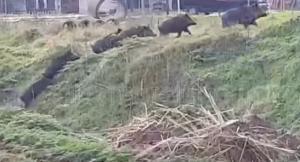Διδυμότειχο: Αγριογούρουνα… βολτάρουν μέσα στην πόλη! [vids]