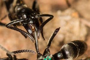 Μυρμήγκια μαχητές και… νοσηλευτές!