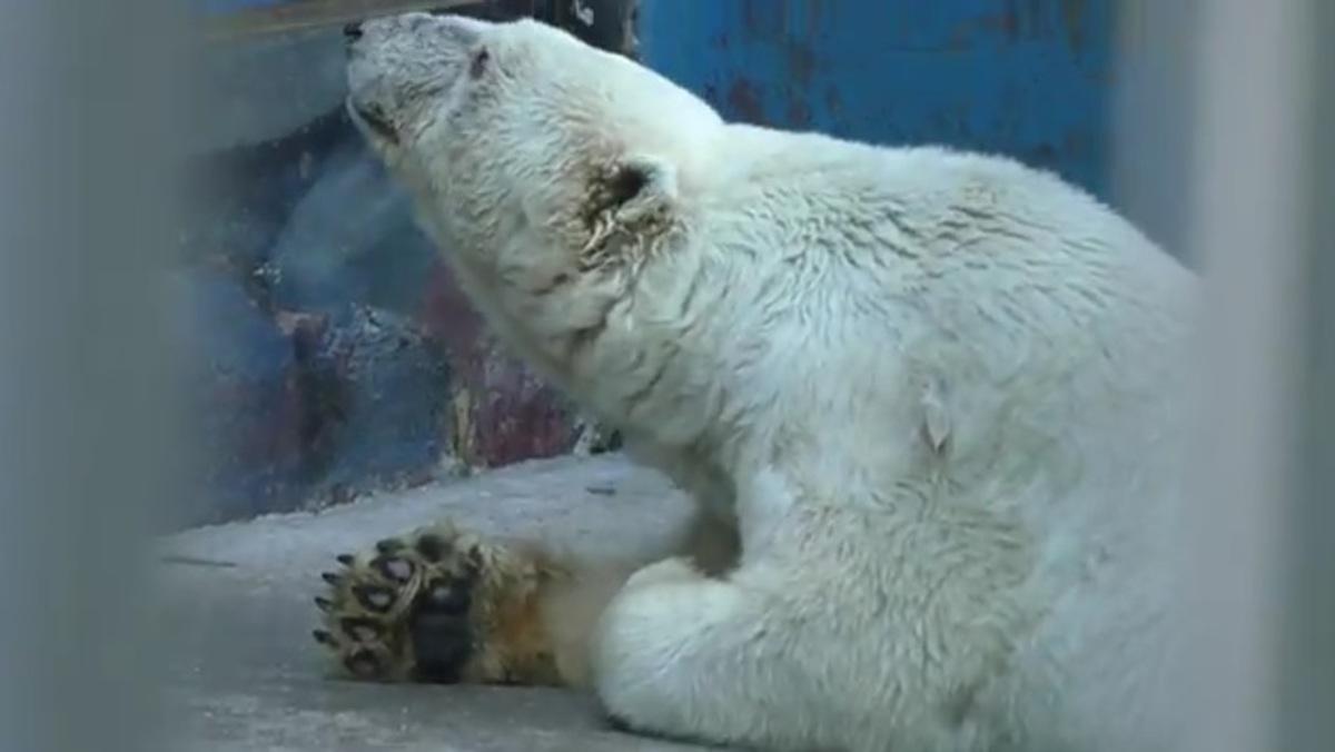 Θλίψη για την Αμντέρμα – Πέθανε η γηραιότερη λευκή αρκούδα της Ρωσίας [vid] | Newsit.gr