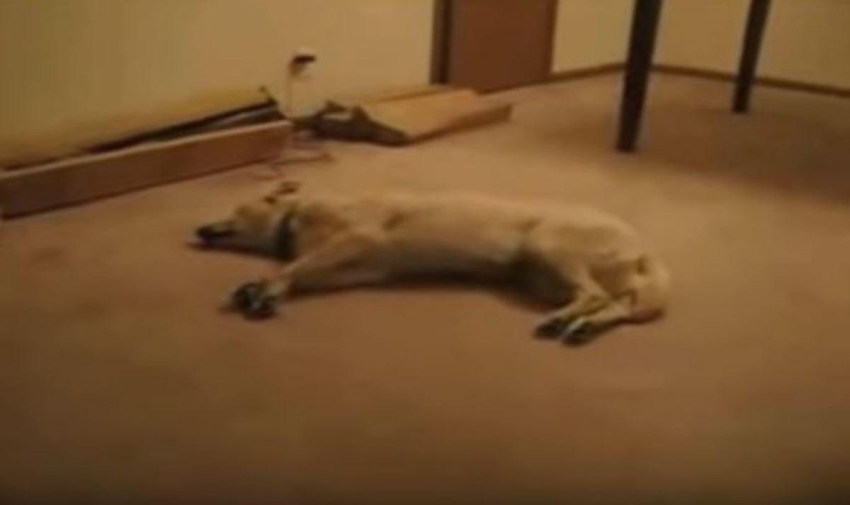 Σκύλος βλέπει εφιάλτη και αρχίζει και τρέχει μέχρι που χτυπά το κεφάλι του στον τοίχο…