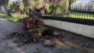 Αγρίνιο: Οι άνεμοι ξερίζωσαν μεγάλο δέντρο – Έπεσε στην περίφραξη της εκκλησίας [pics]