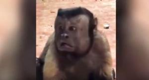 Πιο διάσημη και από την Τσίτα του Ταρζάν – Η μαϊμού με τον ανθρώπινο πρόσωπο