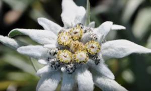 Εντελβάις: 7 πράγματα που δεν ξέρετε για το αιώνιο λουλούδι