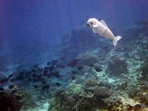 SoFi: Το πρώτο ρομποτικό ψάρι που αρέσει στα άλλα ψάρια!