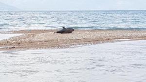Αχαϊα: Νεκρό δελφίνι στις όχθες του ποταμού – Η εικόνα που τράβηξε κάτοικος της περιοχής [pics]