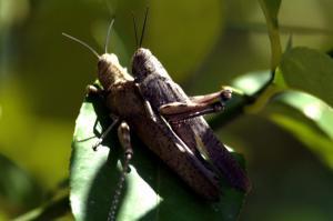 Ακρίδες απειλούν τις καλλιέργειες της Δυτικής Λέσβου