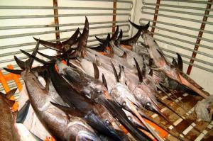 Ηράκλειο: Η χαρά για τον ξιφία των 47 κιλών δεν κράτησε πολύ – Δυσάρεστη έκπληξη για τους ψαράδες!