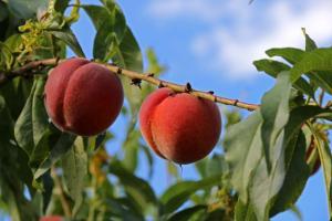 Μακεδονία: Το καλοκαίρι οι αποζημιώσεις στους ροδακινοπαραγωγούς – Τι είπε ο Βαγγέλης Αποστόλου…