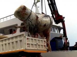Σαντορίνη: Άνοιξαν το στομάχι της τεράστιας φάλαινας και προσπαθούσαν να πιστέψουν στα μάτια τους [pics, vid]