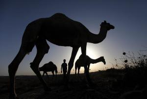 Το γάλα καμήλας «πουλάει σαν τρελό»