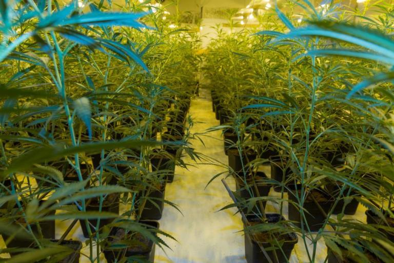Ένα… δάσος από κάνναβη! Εξαρθρώθηκε τεράστιο κύκλωμα ναρκωτικών | Newsit.gr