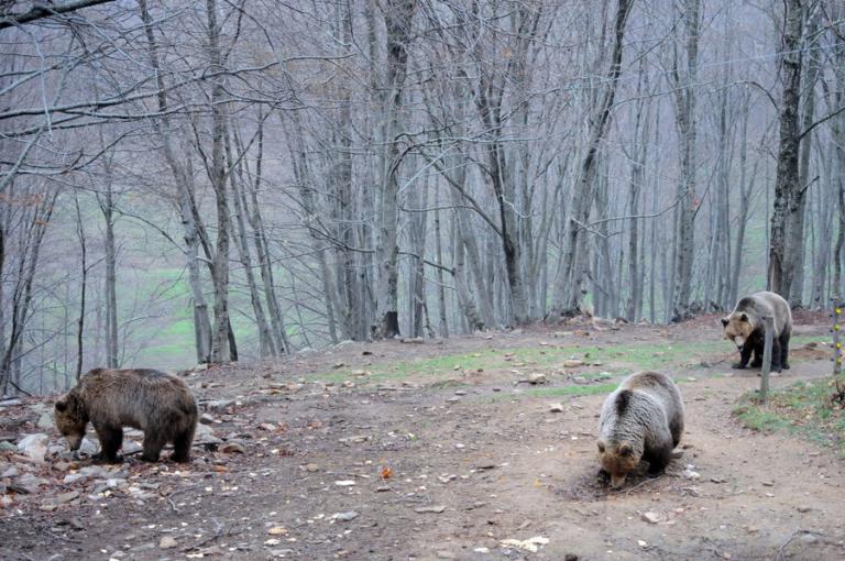 Φλώρινα: Αρκούδα με τα δύο μικρά της βρήκε καταφύγιο σε αυλή σπιτιού