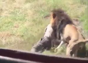 Τρόμος σε πάρκο άγριων ζώων! Τον άρπαξε λιοντάρι μπροστά στους θεατές [vid]