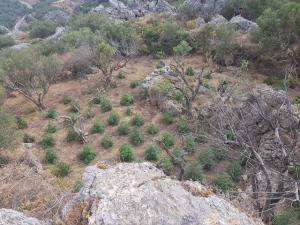Λασίθι: Εντοπίστηκαν 79 χασισόδεντρα [pics]