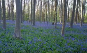 Το μοναδικό μπλε δάσος στις Βρυξέλλες
