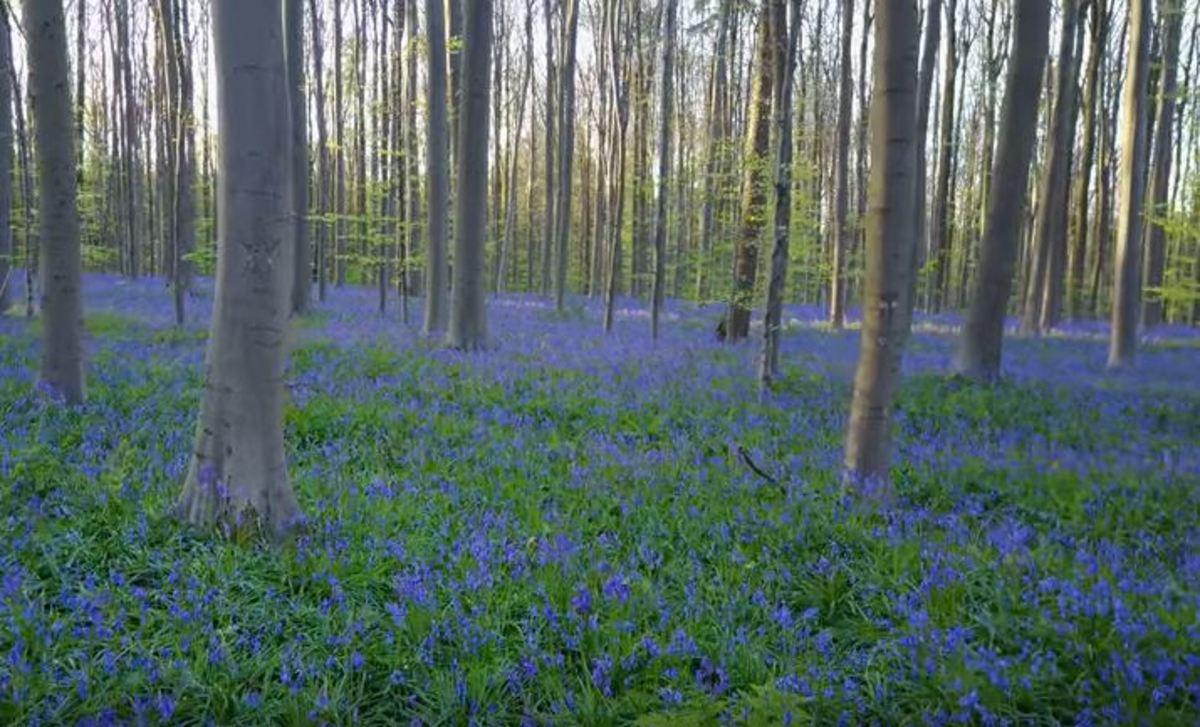 Το μοναδικό μπλε δάσος στις Βρυξέλλες | Newsit.gr