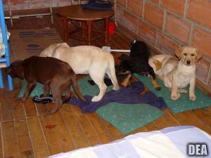 Αδιανόητο! Κτηνίατρος «Εσκομπάρ» έβαζε την ηρωίνη στα στομάχια κουταβιών
