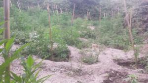 Δάσος από χασισόδεντρα αποκαλύφθηκε στο Ρέθυμνο [pics]