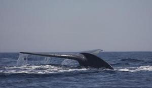 Δολοφόνοι! Σκότωσαν 333 φάλαινες – Οι 122 ήταν έγκυες