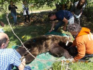 Υπό παρακολούθηση τέθηκαν τέσσερις αρκούδες
