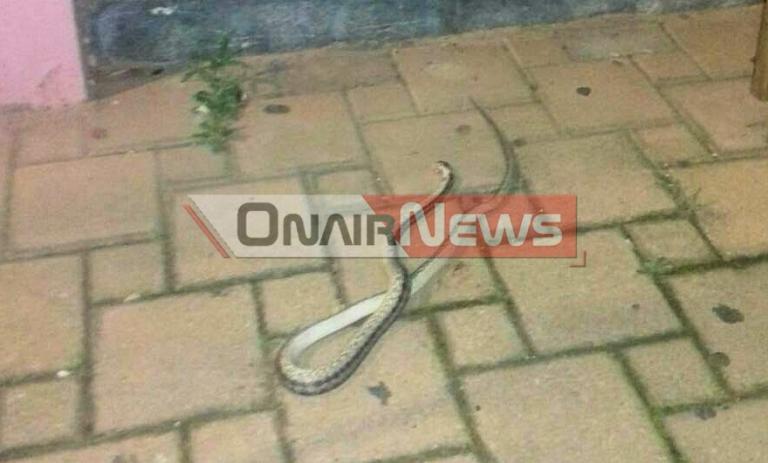 Φίδι έσπειρε τον τρόμο στο Μεσολόγγι [pics]