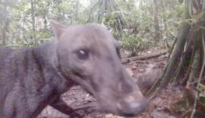 Σκύλος της ζούγκλας: Το πιο σπάνιο ζώο του κόσμου