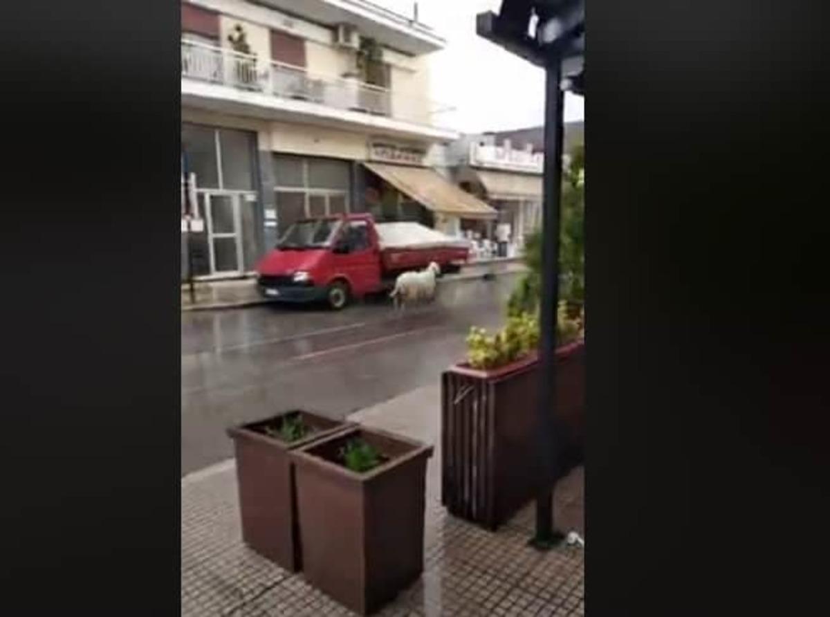 Θεσσαλονίκη: Πρόβατο για κλήση! Τρέχει στο αντίθετο ρεύμα και προκαλεί πανικό! [vid]
