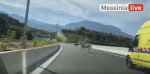 Καλαμάτα: Οδηγούσαν στον περιφερειακό και είδαν μπροστά τους… δύο άλογα! [vid]