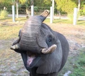 Ο λιχούδης ελέφαντας – Προτίμησε το φαγητό από την ελευθερία του
