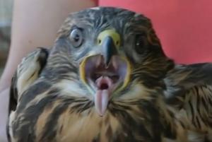 Ναύπλιο: Διέσωσε το γεράκι που έπεσε στο κτήμα του – Η μαμά γερακίνα παρακολουθούσε τα πάντα από ψηλά [vid]