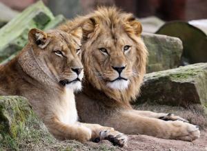Μεζές για τα λιοντάρια έγιναν λαθροθήρες ρινόκερων