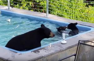 Αρκούδες έκαναν «ντου» σε πισίνα σπιτιού!