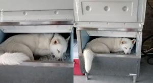 Χάσκι υποφέρει από τη ζέστη και κοιμάται σε κάδο πάγου!