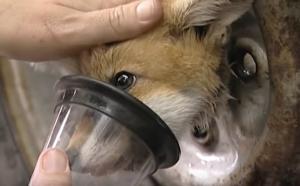 Αλεπού εγκλωβίστηκε σε ρόδα αυτοκινήτου – Η απίστευτη διάσωσή της