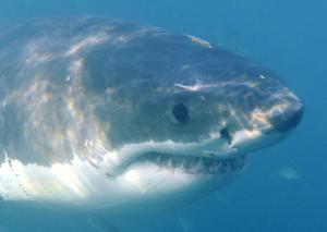 Λευκός καρχαρίας πέντε μέτρων εντοπίστηκε σε θαλάσσιο πάρκο [vid]