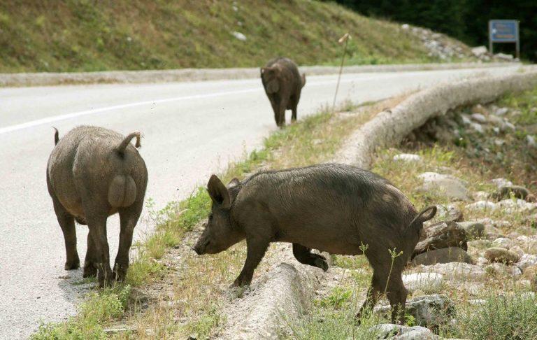 Φθιώτιδα: Αλλεπάλληλα τροχαία με αγριογούρουνα – Δεν ψαρώνουν από τα φώτα των αυτοκινήτων! | Newsit.gr