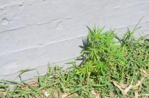 Καλαμάτα: Φύτρωσε αυτό το χασισόδεντρο στο δημοτικό πάρκο – Προσπαθούσαν να πιστέψουν στα μάτια τους [pics]