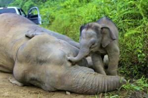 Σκότωσαν για εκδίκηση ελέφαντα που απειλείται με εξαφάνιση