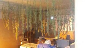 Βοιωτία: Μέσα στο διαμέρισμα τα χασισόδεντρα έφταναν το 1,5 μέτρο
