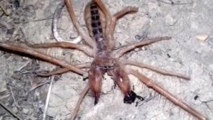 Αράχνη – σκορπιός εμφανίστηκε στα Τρίκαλα! [pics]