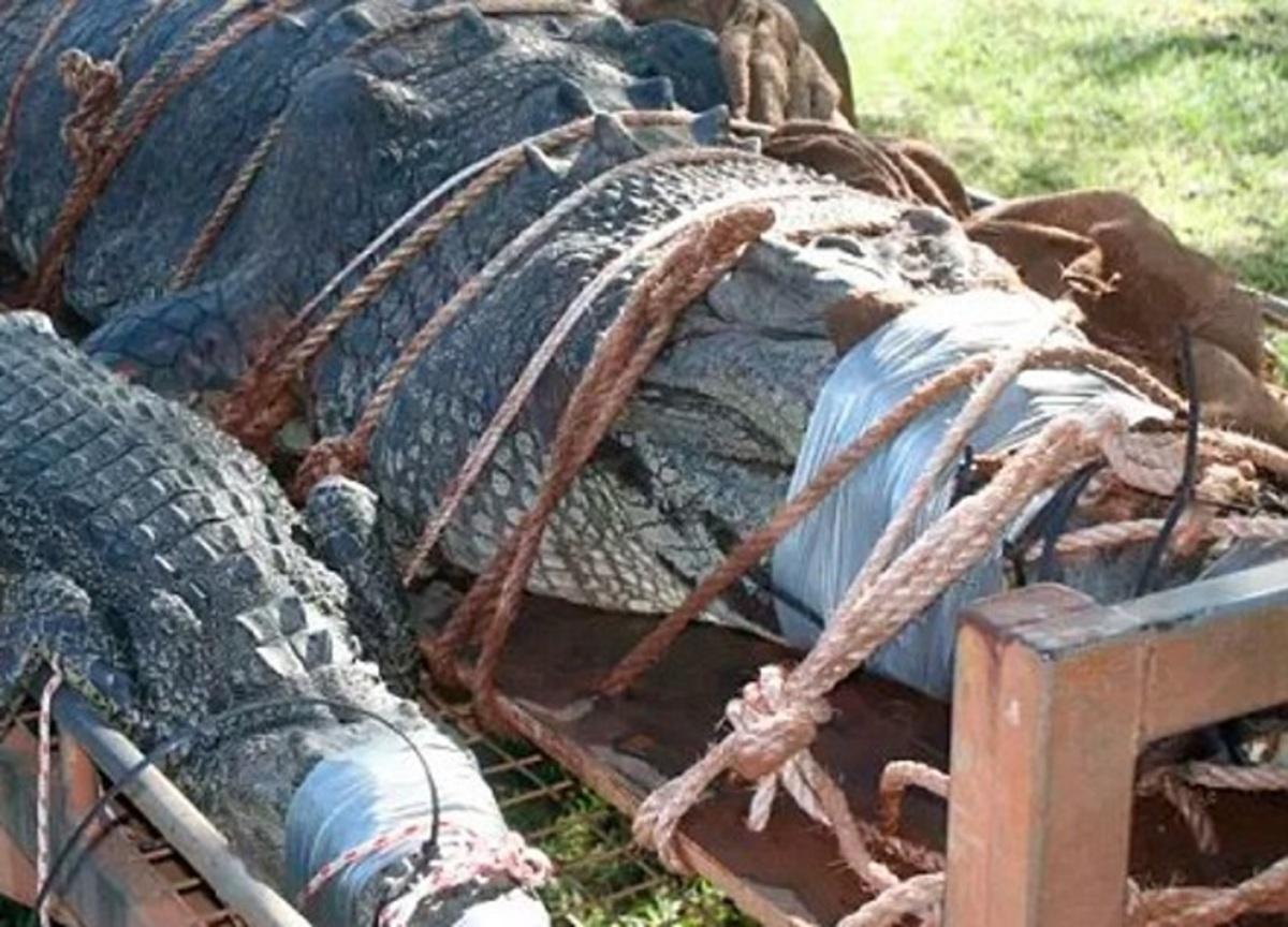 Αυτός είναι ο πελώριος κροκόδειλος των 600 κιλών – Τον έψαχναν 8 ολόκληρα χρόνια – video | Newsit.gr