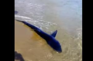 Κρήτη: Έτσι βρέθηκε ο μπλε καρχαρίας στα ρηχά
