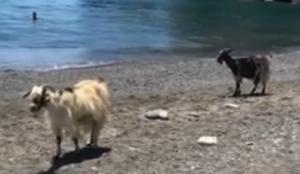 Έλιωσαν μέχρι και οι… κατσίκες! Έφτασαν ως την παραλία – Video