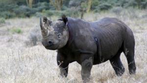 Κένυα: Πέθαναν 8 μαύροι ρινόκεροι κατά την μεταφορά τους σε πάρκο άγριων ζώων