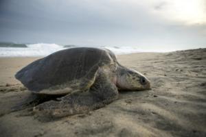Μια γιγάντια θαλάσσια χελώνα που την λένε Γουάντα