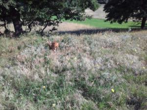 Φλώρινα: Ελεύθερο στη φύση το ζαρκάδι που είχε βρεθεί τρομαγμένο στο Αμύνταιο [pics]